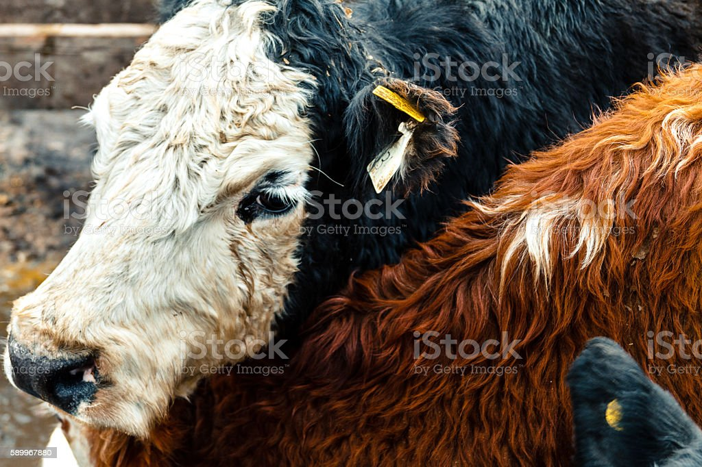 Black and white calf in a farmyard stock photo