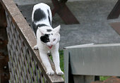 Black and white cat is stretching