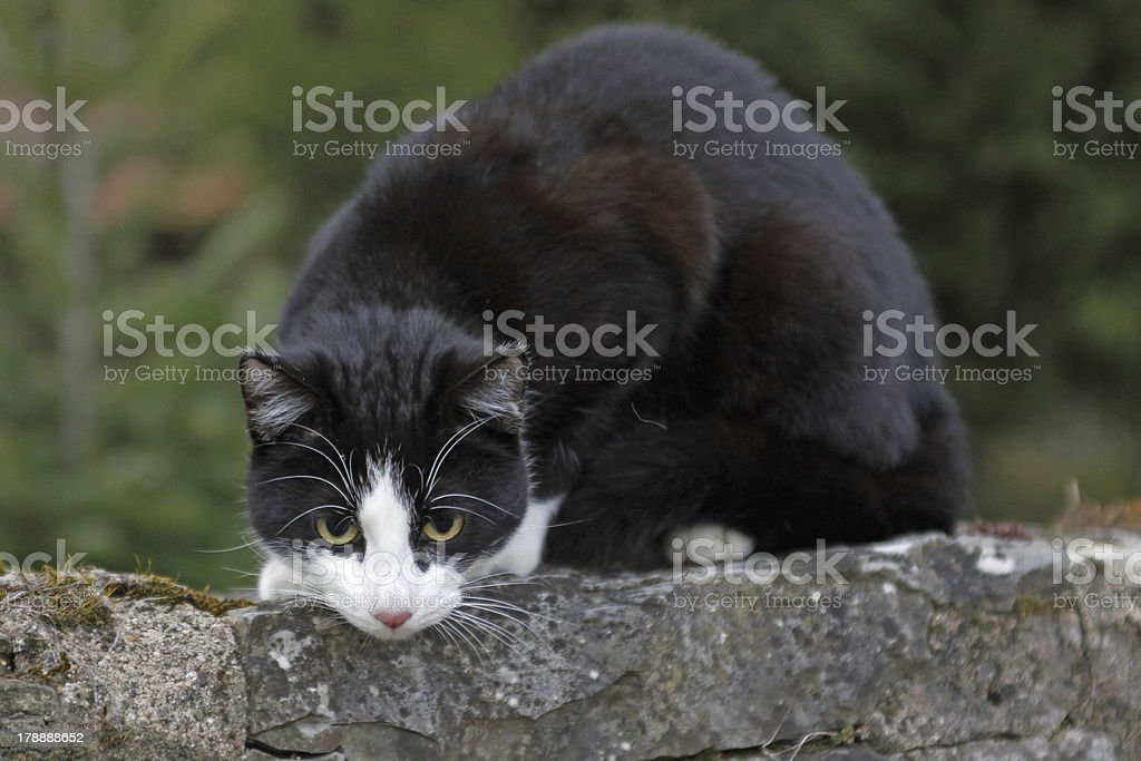Black and white cat on a brick wall royalty-free stock photo