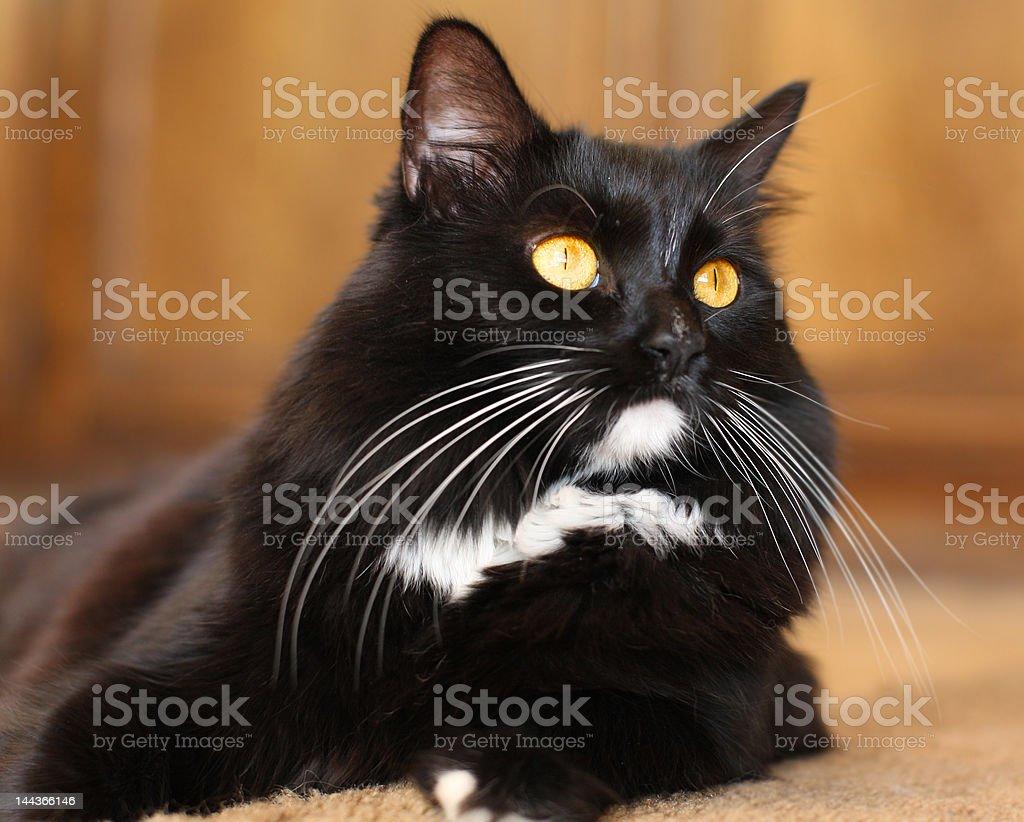 Gato blanco y negro foto de stock libre de derechos
