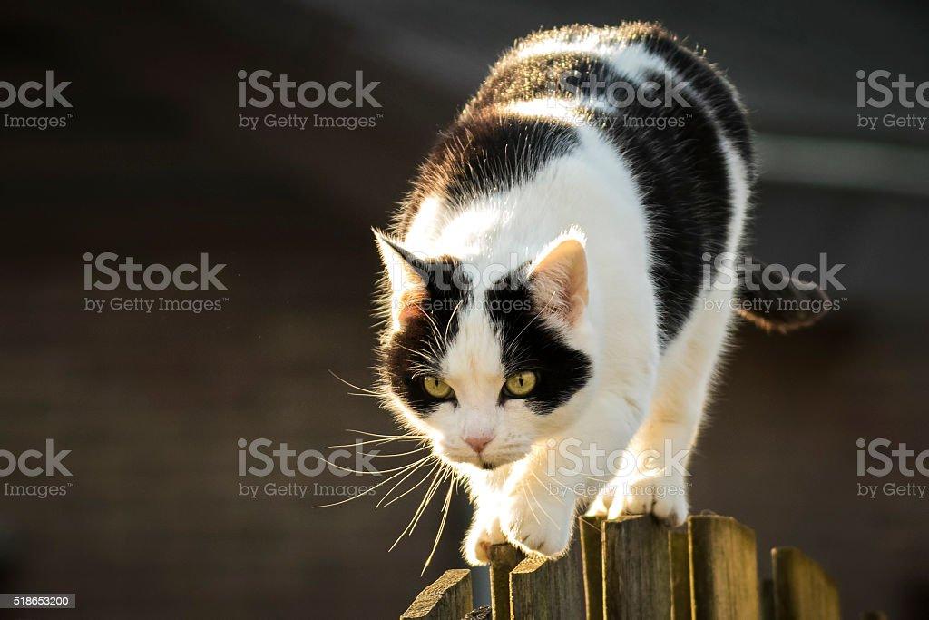 Black and white cat walking fence stock photo