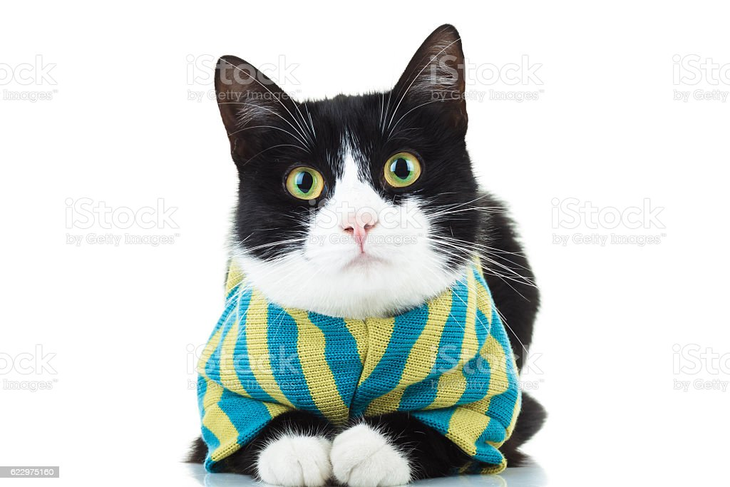 black and white cat wearing clothes stock photo