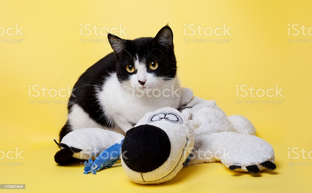 black and white cat with a teddy bear studio photo stock photo
