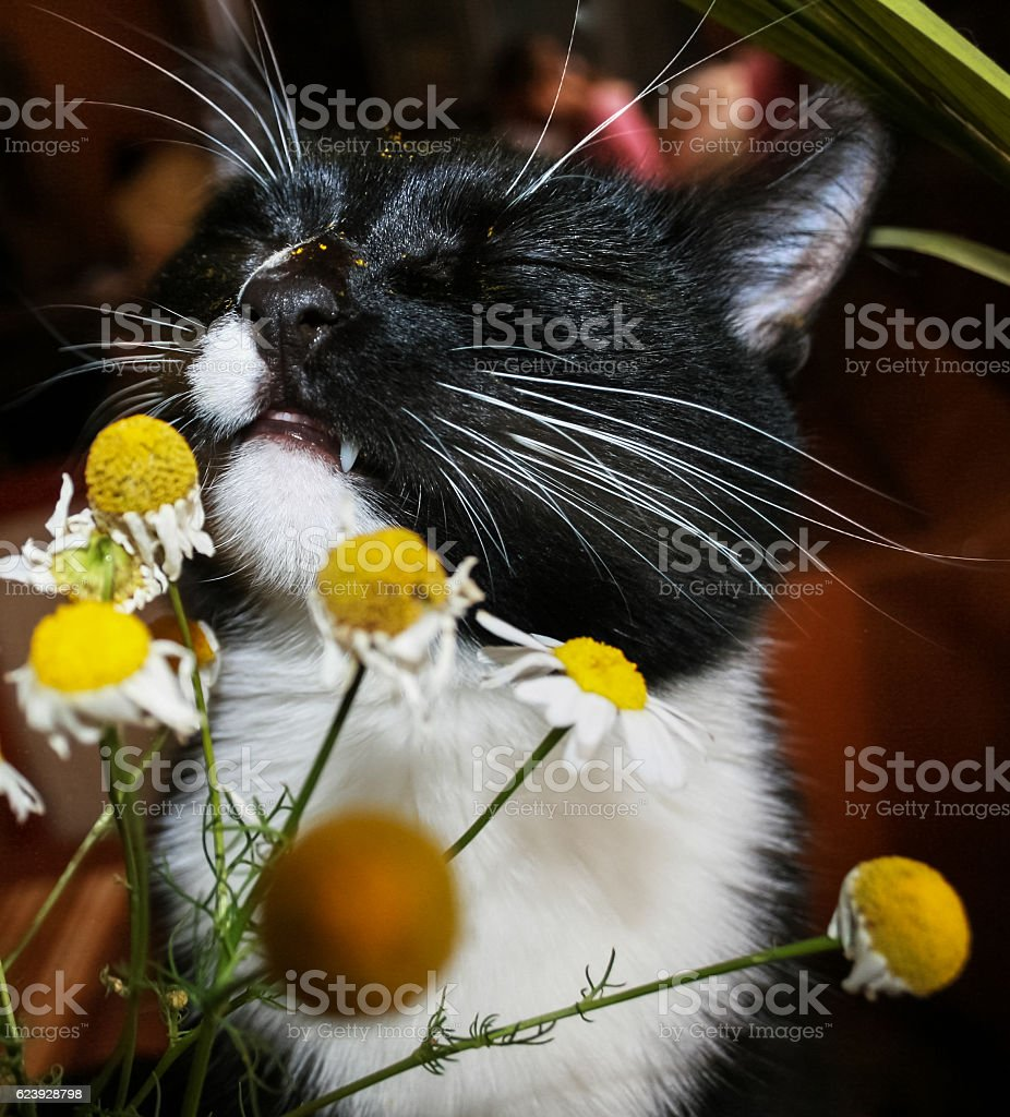 Black and white cat with pleasure is sniffing chamomile. stock photo