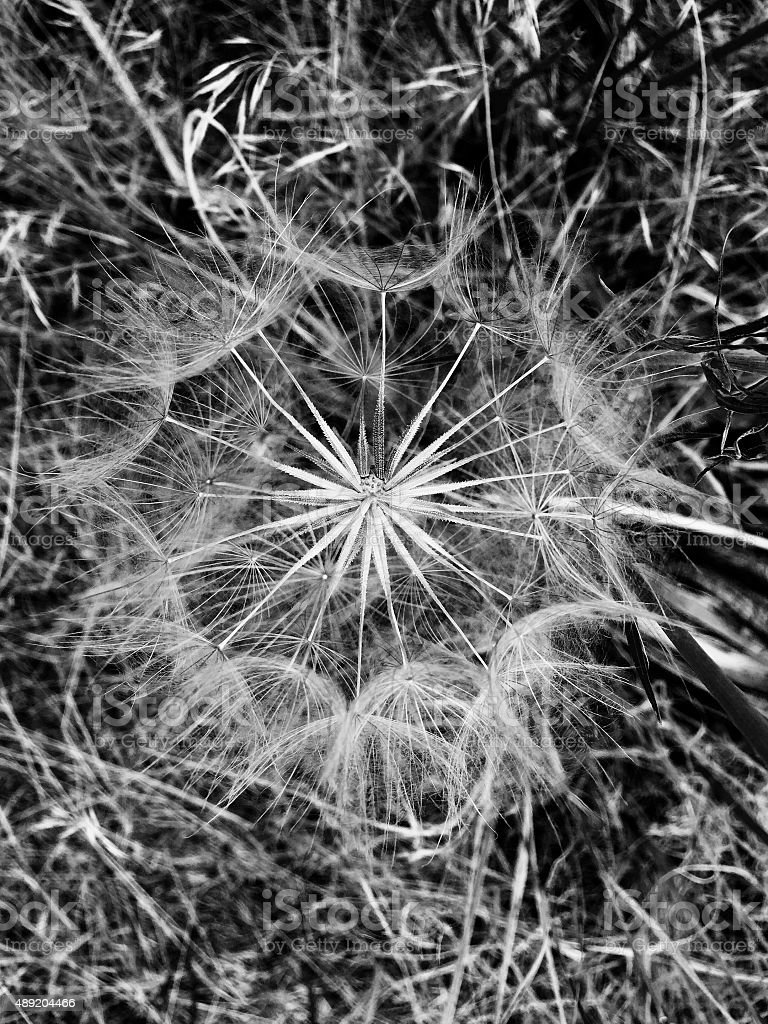 Black and white close up of dandelion royalty-free stock photo
