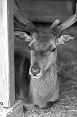 Black and white closeup of deer head with big antlers