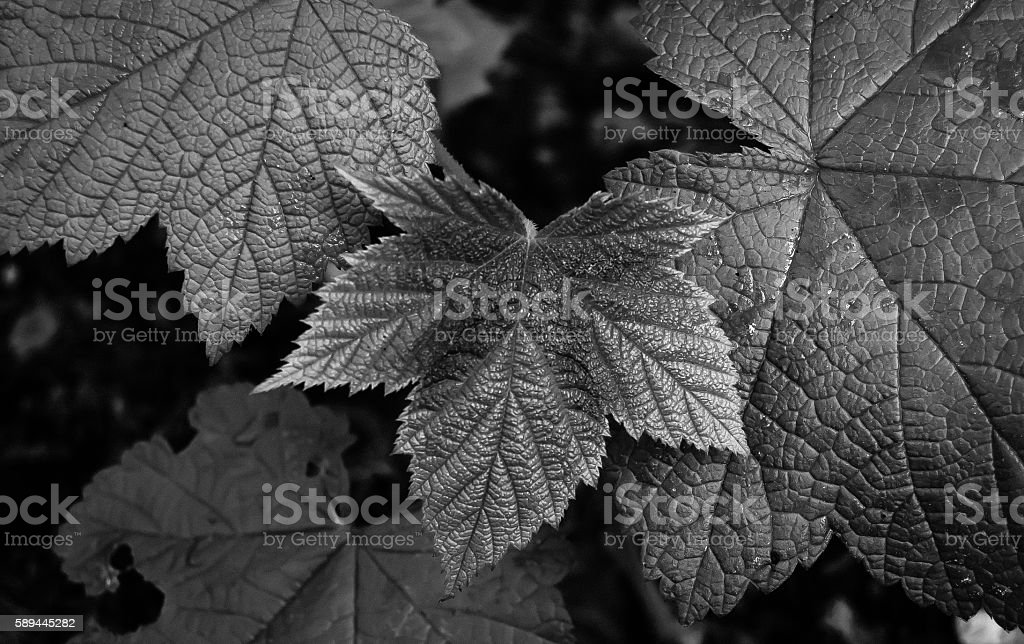 Black and White Closeup of Leaves stock photo