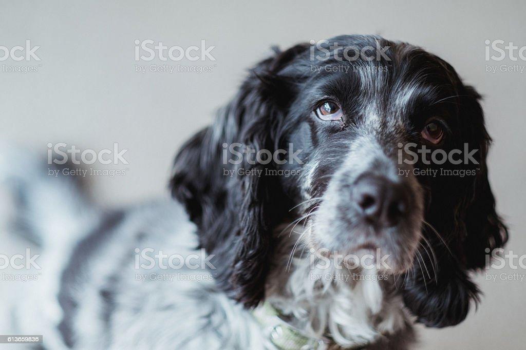 Black and white cocker spaniel stock photo