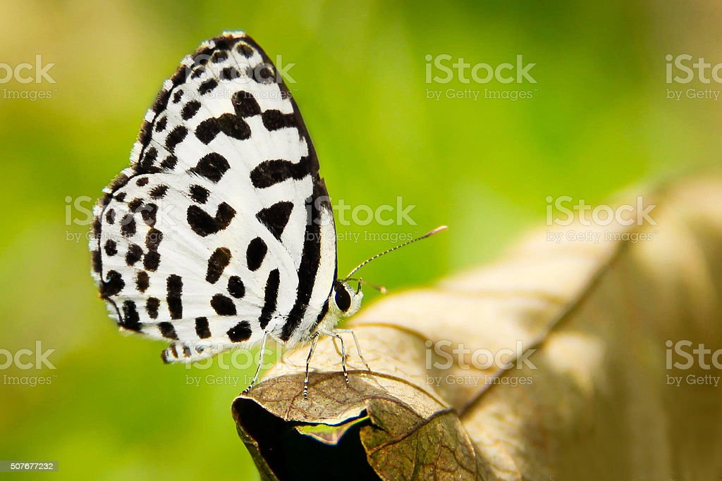 Black and white  color butterfly on flower stock photo