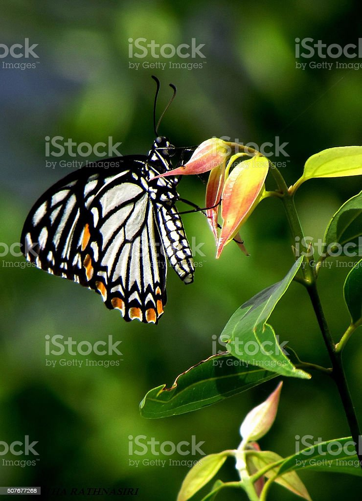Black and white  color butterfly on leaf stock photo