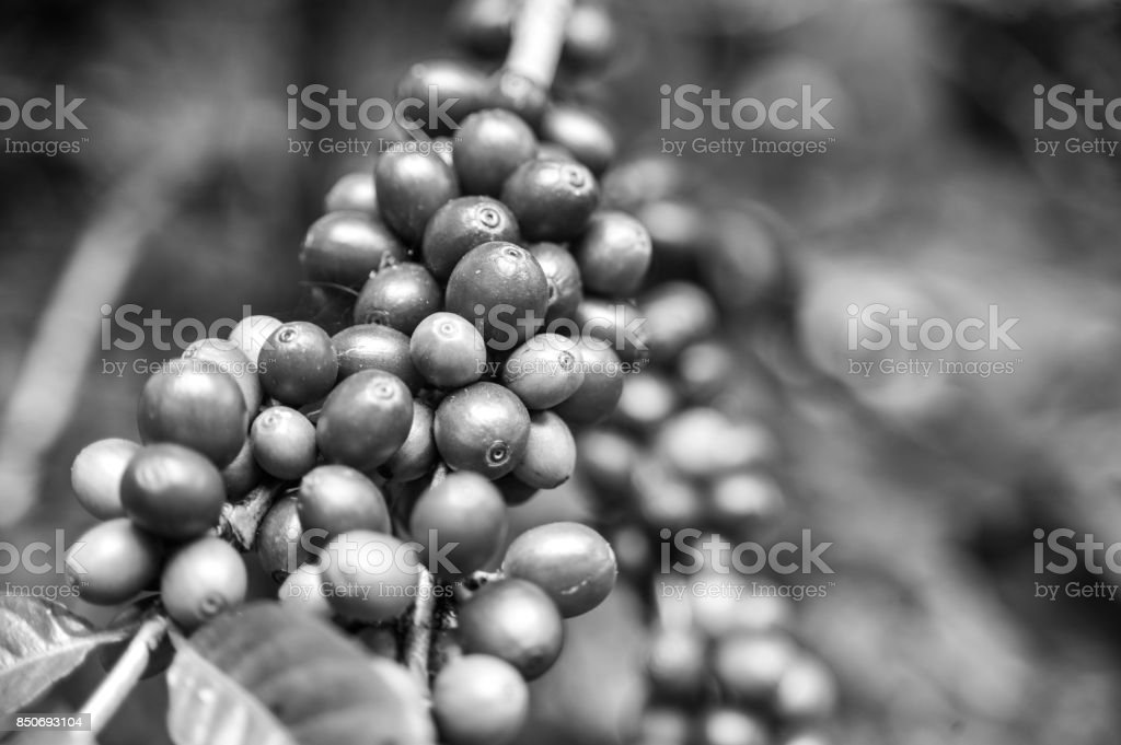 Black and white color of coffee cherries stock photo