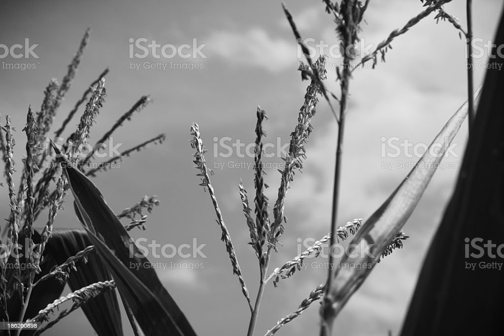 Black and White Corn Stalks stock photo