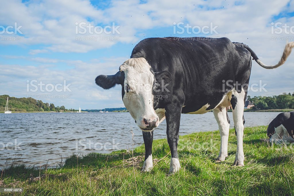 Black and white cow by a river stock photo