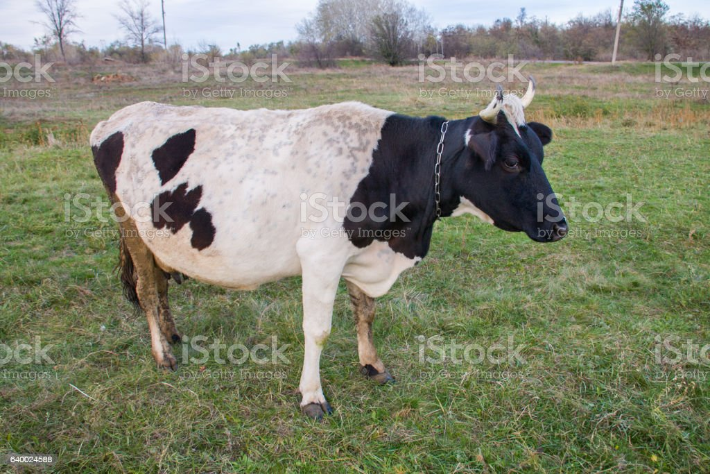 black and white cow grazing on the green grass stock photo