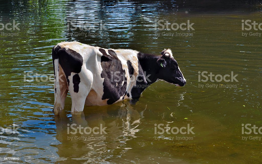 Black and White Cow standing in water stock photo