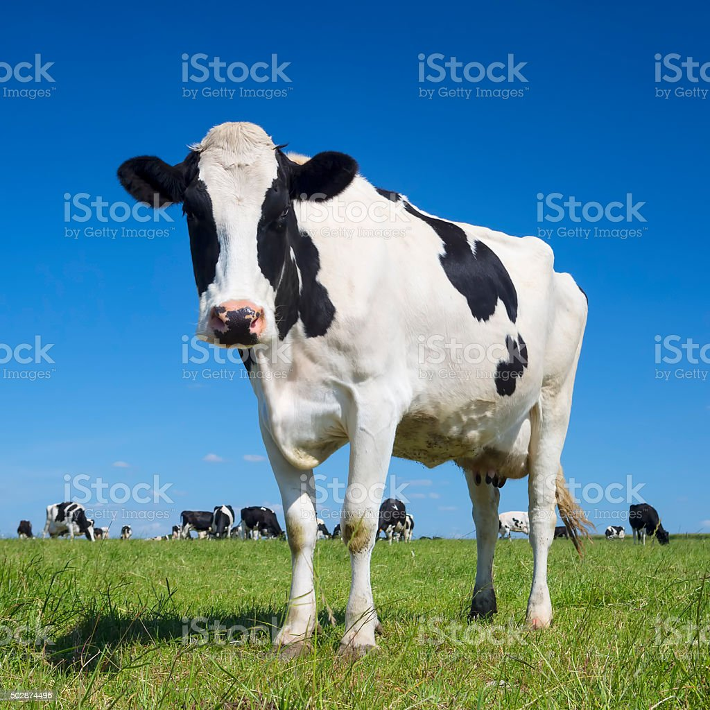 black and white cow with blue sky stock photo