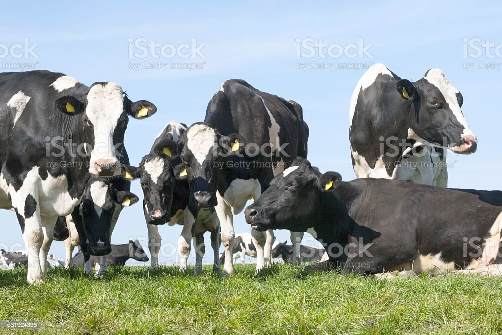 black and white cows in sunny dutch green meadow stock photo