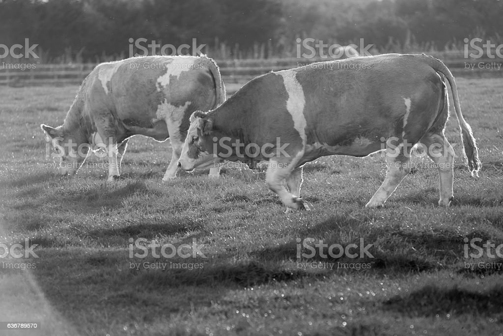 Black and White Cows Walking Left stock photo