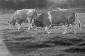Black and White Cows Walking Left