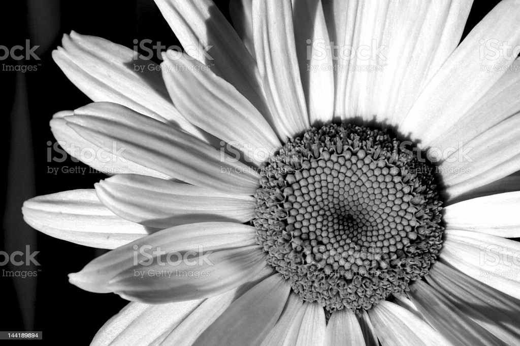 Black and White Daisy royalty-free stock photo