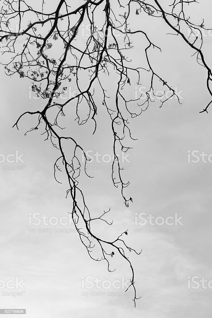 Black and white dead pink trumpet tree with sky stock photo