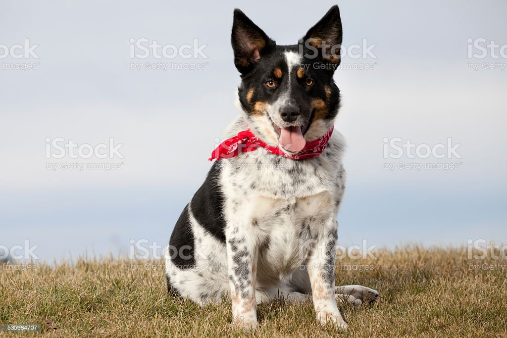 Black and White Dog Outdoors Wearing Bandana Collar stock photo
