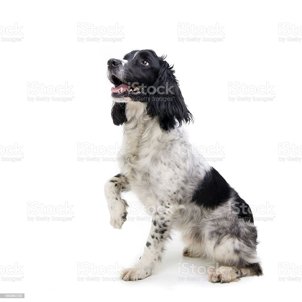 Black and white dog sitting with one paw raised stock photo