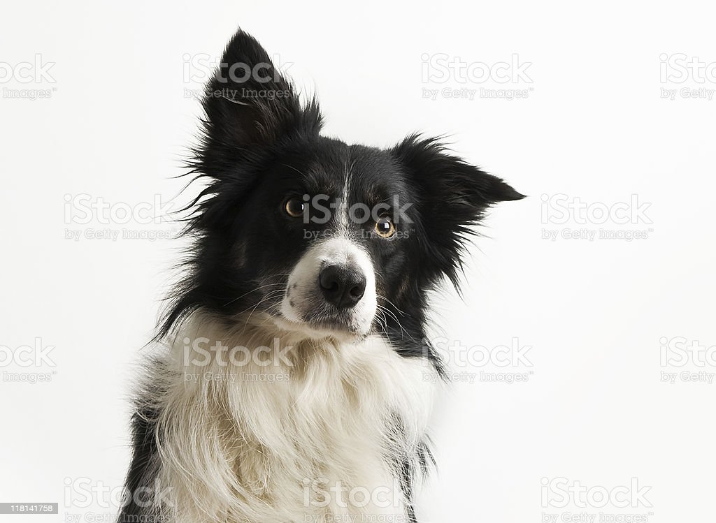 Black and white dog with ear cocked stock photo