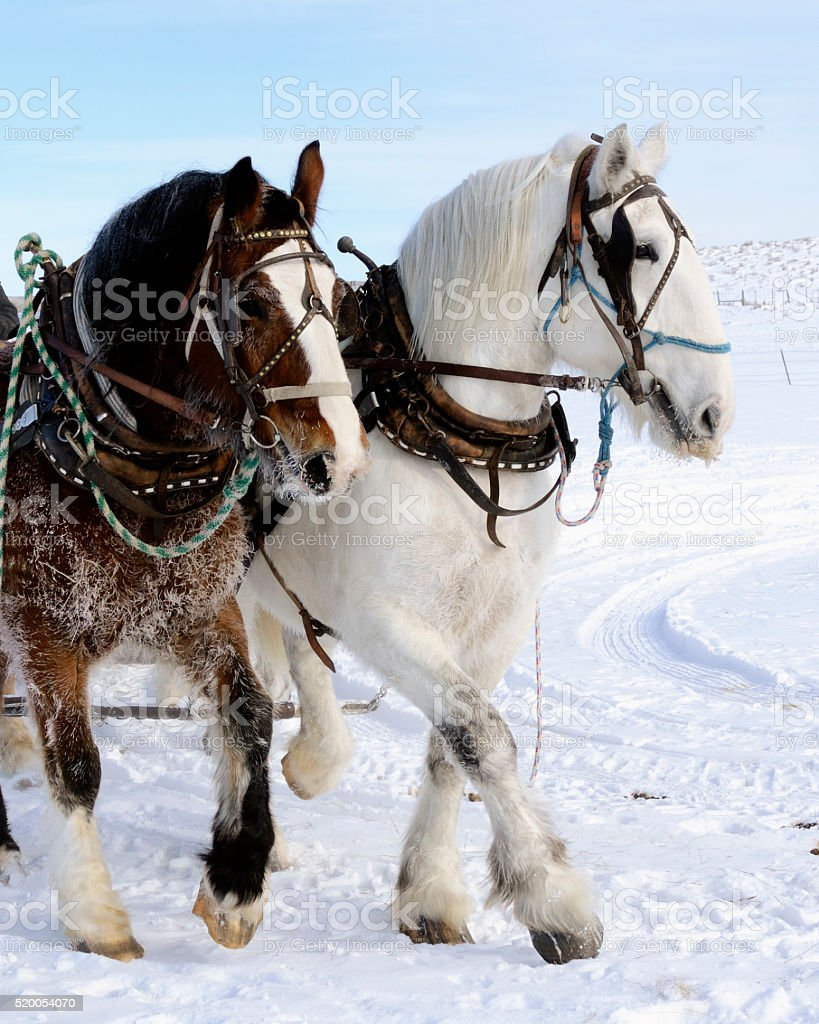 Black and White Draft Horse Team working together stock photo