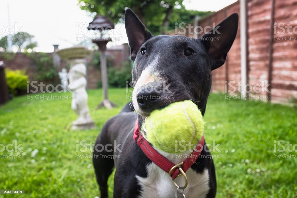 Black And White English Bullterrier Playing Fetch stock photo