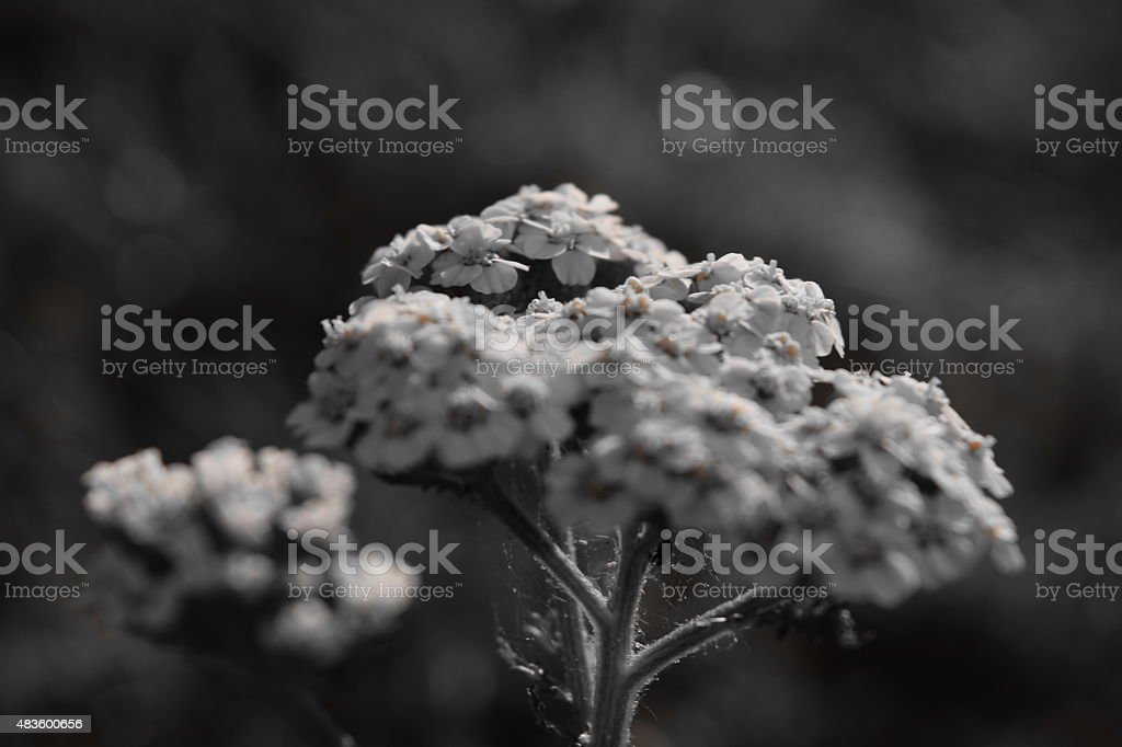 Black and white flower royalty-free stock photo