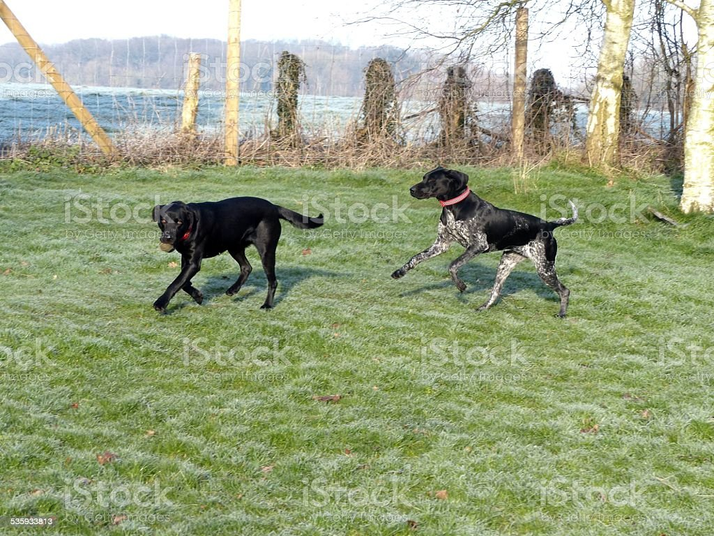 Black and white german shorthaired pointer and Labrador playing ball stock photo