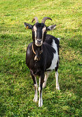 Black and white goat on grass background.