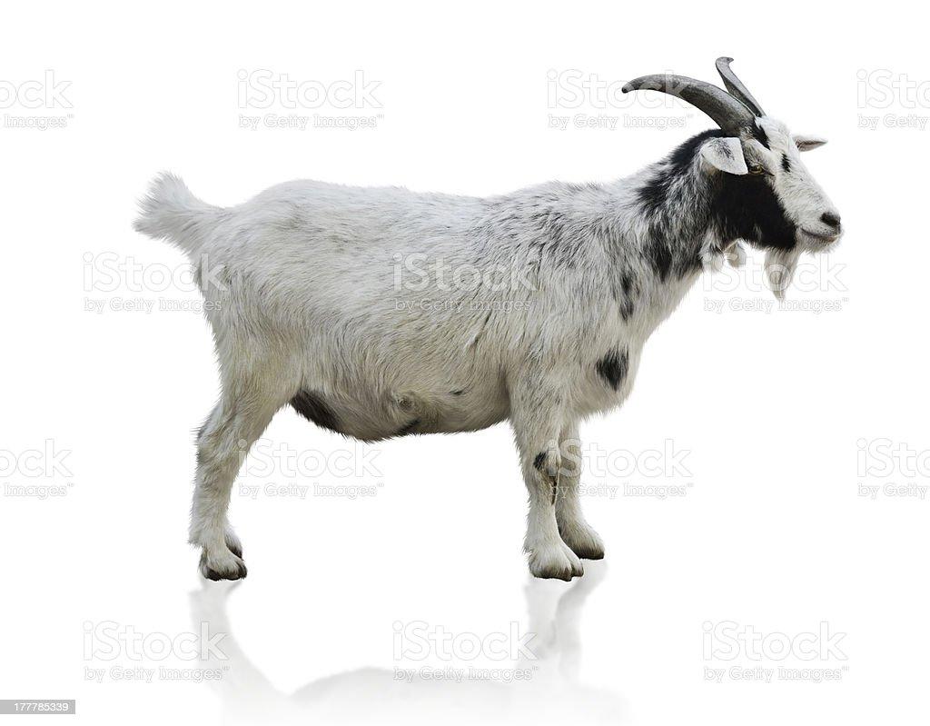 Black And White Goat stock photo