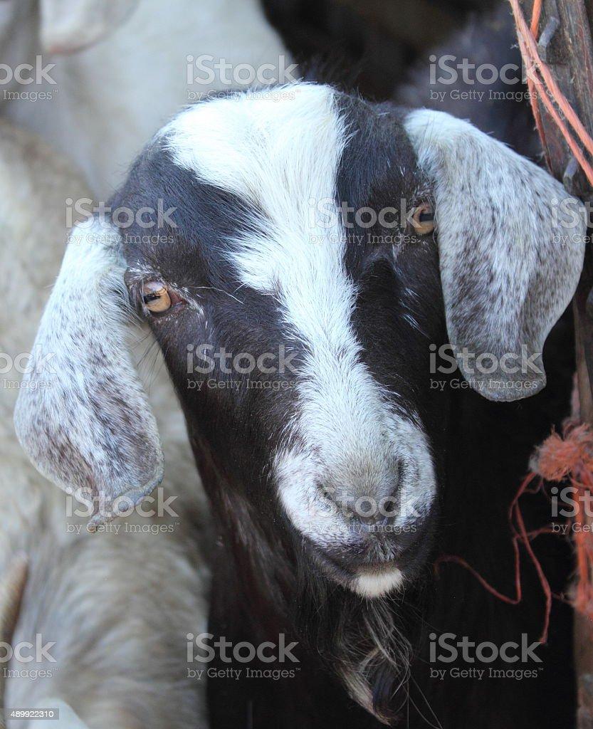 Black and white goat's head stock photo