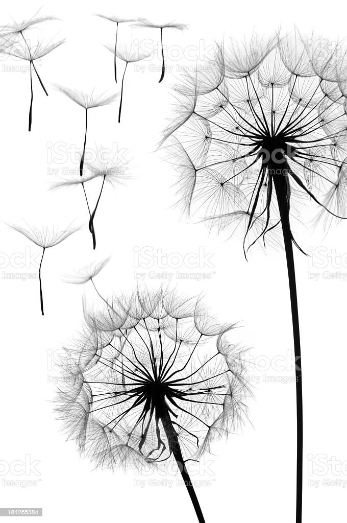 Black and white graphic image of a dandelion in seed stock photo