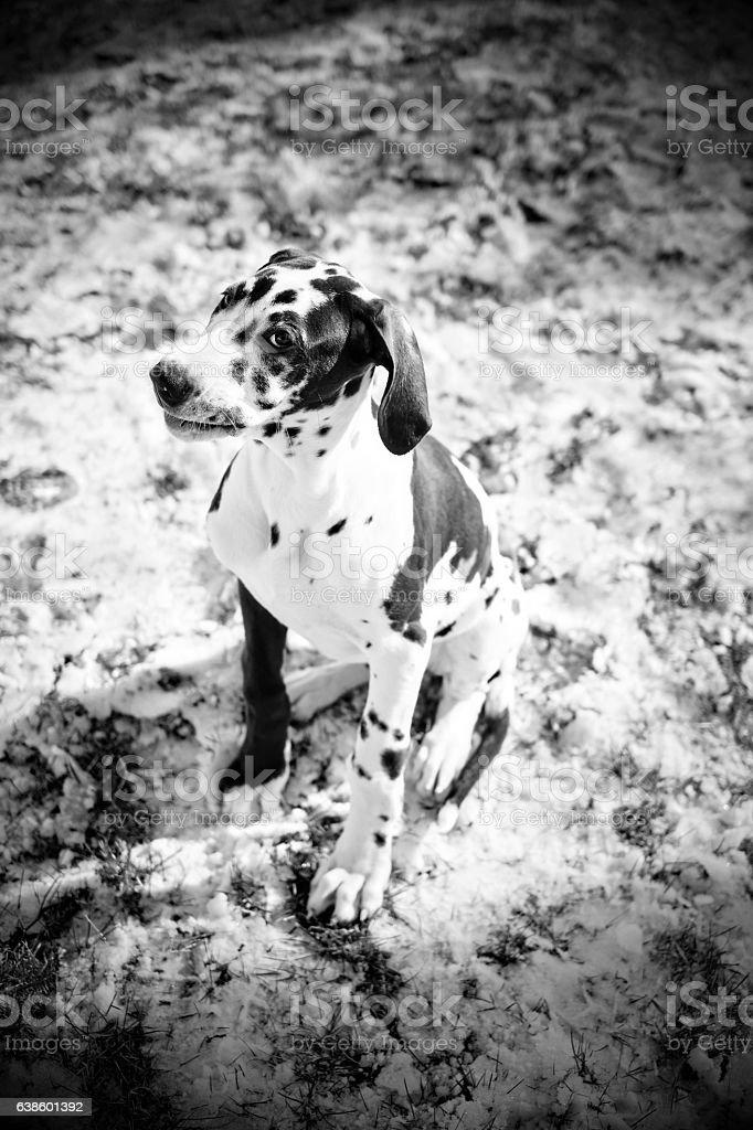 Black and White Harlequin Great Dane Puppy stock photo