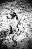 Black and White Harlequin Great Dane Puppy