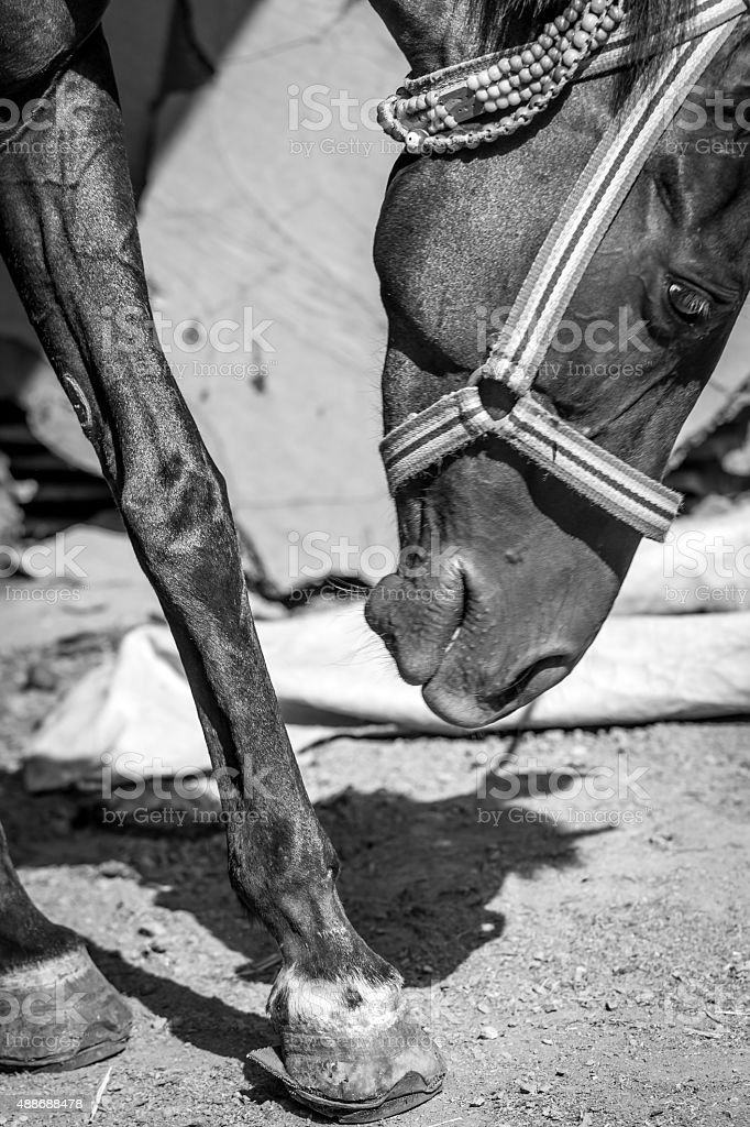 Black and white horse photography stock photo