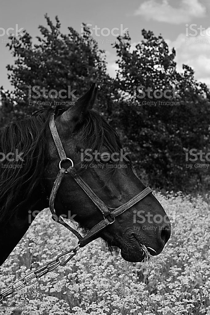 black and white horse portrait royalty-free stock photo