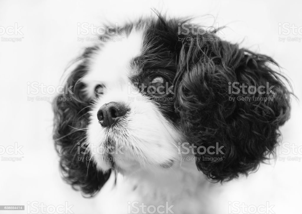 Black and white image of a cute King Charles Spaniel stock photo