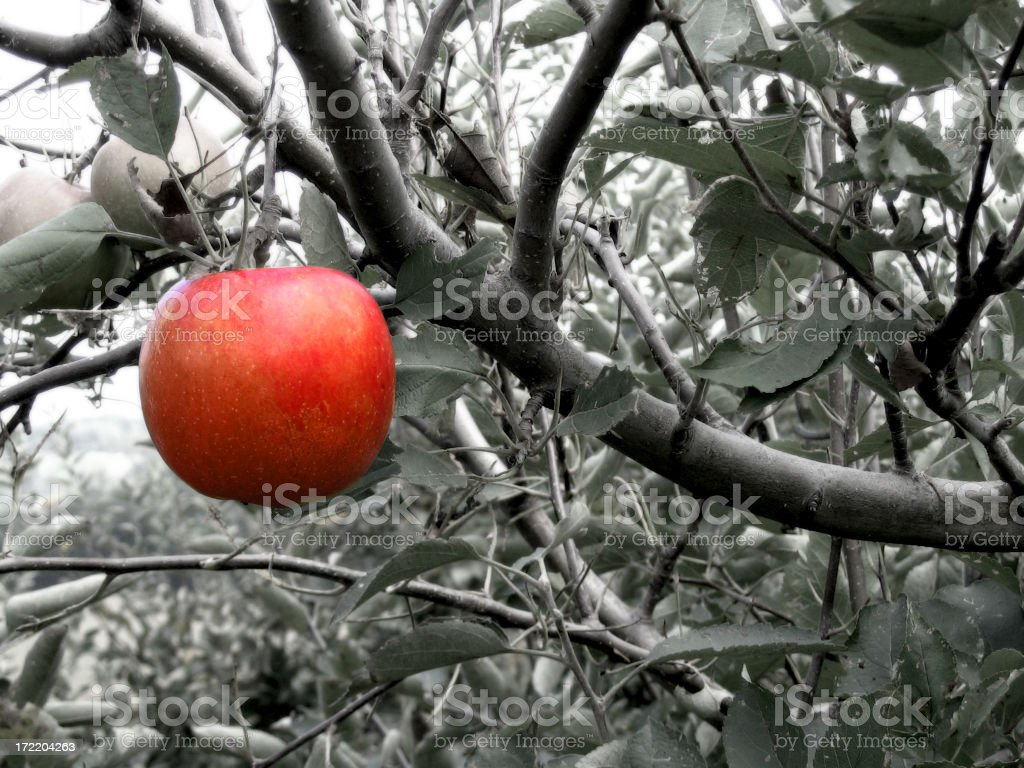 Black and white image of a tree with one red apple stock photo