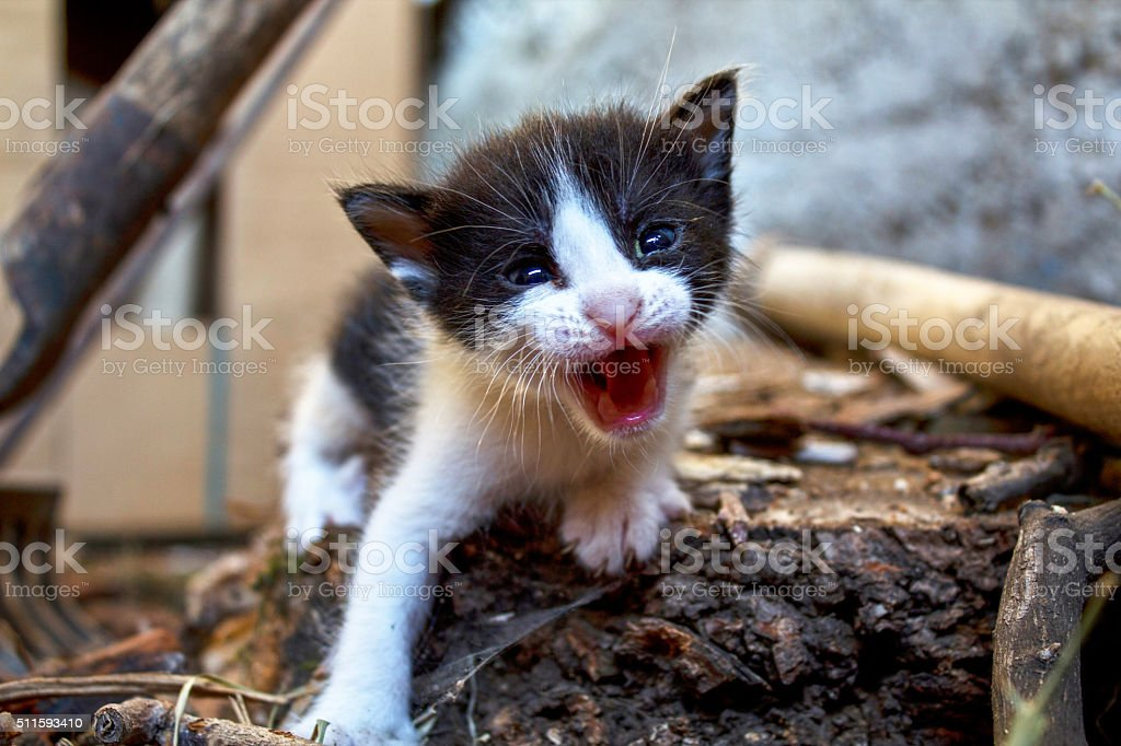 Black and white kitten mew in the stable stock photo
