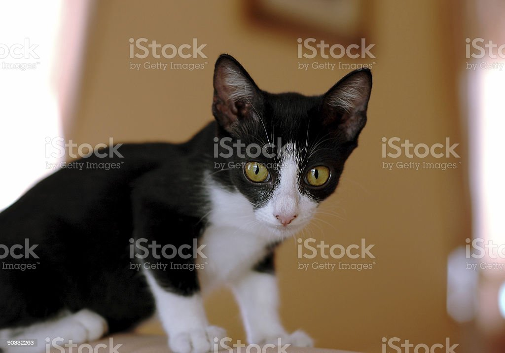 Black and white Kitten royalty-free stock photo