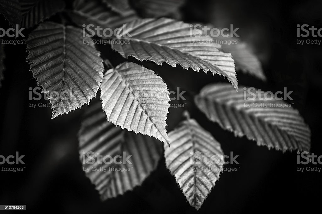 Black and white leaves stock photo