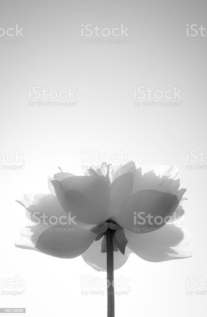 black and white lotus stock photo
