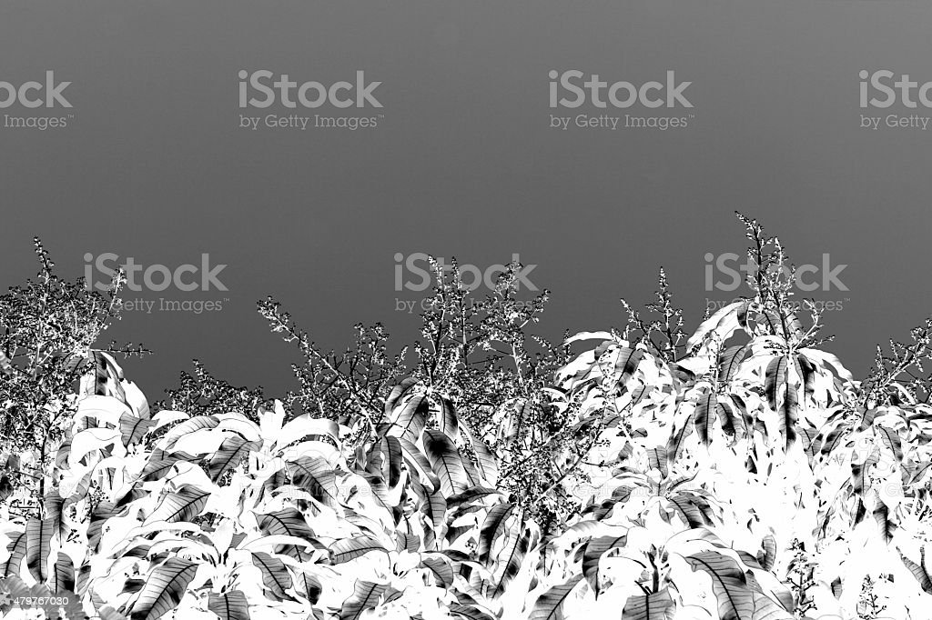 black and white mango flower stock photo