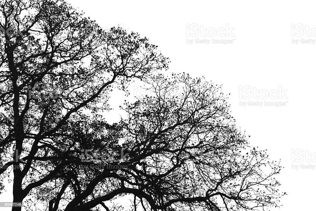 Black and White Oak Tree. stock photo