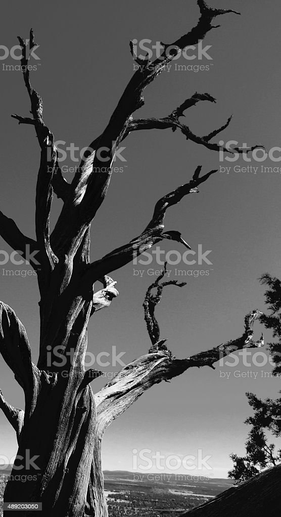 Black and white of bare tree in the desert royalty-free stock photo