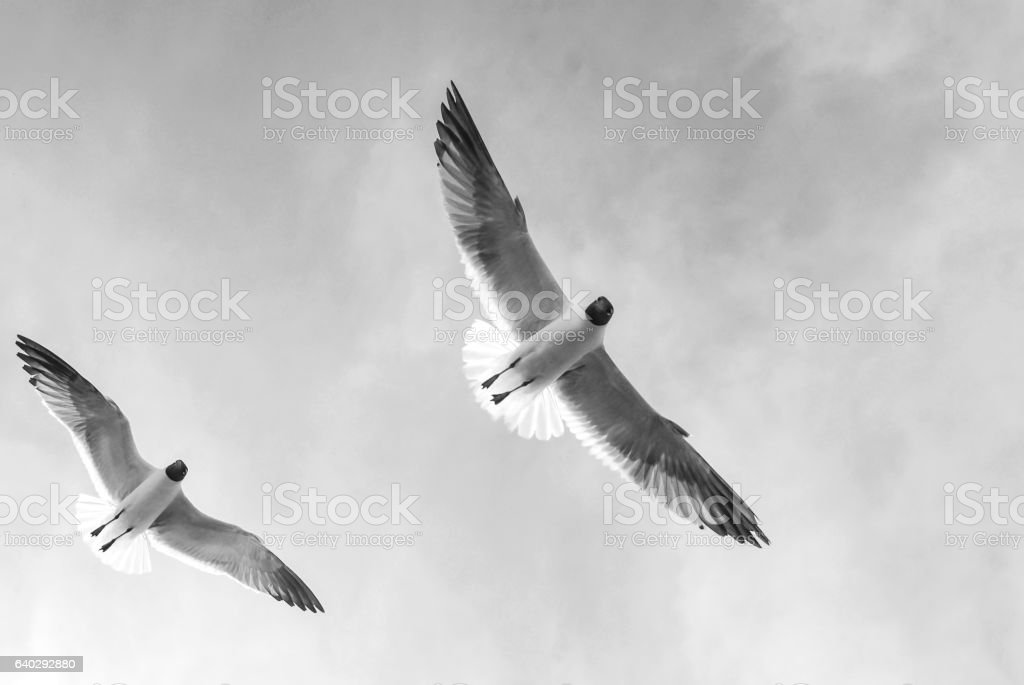 Black and white of birds in flight stock photo